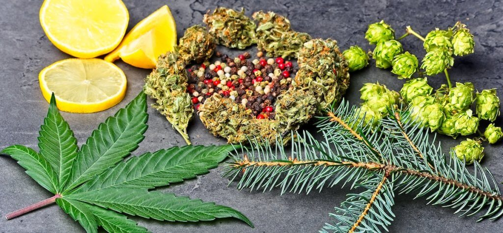 Cannabis bud and leaf with hoppy, pepper, lemons and fir needles Caryophyllene, humulene limonene and pinene terpenes concept on grey background.